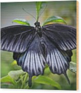 Sapphire Blue Swallowtail Butterfly Wood Print