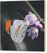 Sara Orange-tip On Wild Hyacinth Wood Print