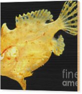 Sargassum Anglerfish Wood Print