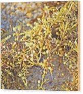 Sargassum Seaweed Wood Print