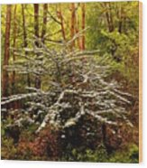 Sargent Crabapple Tree Wood Print