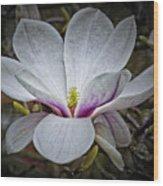 Saucer Magnolia - Magnolia Soulangeana Wood Print