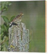 Savannah Sparrow.. Wood Print