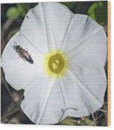 Sawfly On A Beach Morning Glory Flower Wood Print
