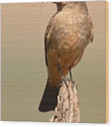 Say's Phoebe On Perch With Grasshopper In Beak Wood Print
