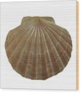 Scallop Shell Wood Print