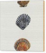 Scallop Shell Trio Wood Print by Sheryl Heatherly Hawkins