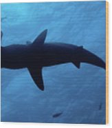 Scalloped Hammerhead Shark Underwater View Wood Print by Sami Sarkis