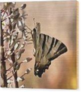 Scarce Swallowtail Feeding Wood Print