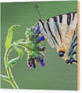 Scarce Swallowtail Wood Print