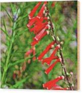 Scarlet Bugler In Rancho Santa Ana Botanic Garden In Claremont-californi Wood Print