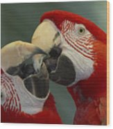 Scarlet Macaw Ara Macao Pair Kissing Wood Print