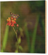 Scarlet Milkweed And Butterfly Wood Print