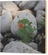 Scarlet Pimpernel Flower Wood Print
