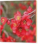 Scarlet Quince Blooms Wood Print