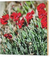 Scarlet Red Dianthus Wood Print