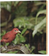 Scarlet Tanager In Costa Rica Wood Print