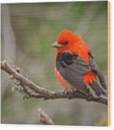 Scarlet Tanager On Branch Wood Print