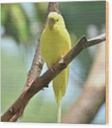 Scenic View Of An Adorable Yellow Parakeet Wood Print
