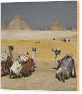 Scenic View Of The Giza Pyramids With Sitting Camels Wood Print
