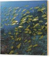 School Of Yellow Snapper, Great Barrier Wood Print