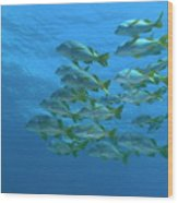 School Of Yellowtail Grunt Underwater Wood Print