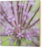 Schubert's Allium Wood Print
