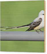 Scissor-tail Flycatcher Wood Print