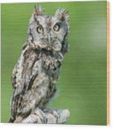 Scops Owl Wood Print