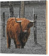 Scottish Highlander Wood Print