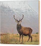 Scottish Red Deer Stag - Glencoe-2 Wood Print