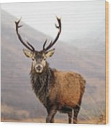 Scottish Red Deer Stag - Glencoe Wood Print