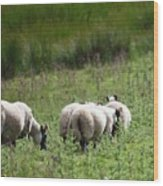 Scottish Sheep Wood Print