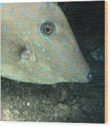 Scrawled Filefish Profile, Alutera Wood Print