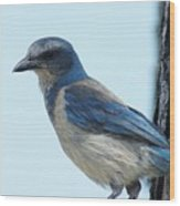 Scrub Jay Close Up Wood Print