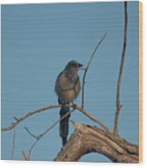 Scrub Jay Private Eye Wood Print