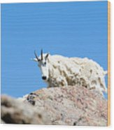 Scruffy Mountain Goat On The Mount Massive Summit Wood Print