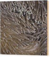 Sea Anemone Closeup Wood Print