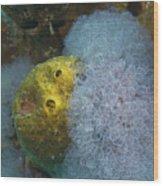 Sea Anemone On Pedernales Wreck In Aruba Wood Print