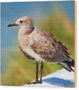 Sea Gull Of Boca Grande Wood Print