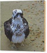 Sea Hawk Standing In Shallow Water Wood Print