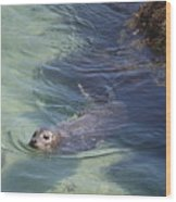 Sea Lion In Clear Blue Waters Wood Print