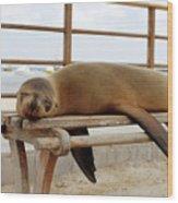 sea lion on a bench in Puerto Ayora, Santa Cruz Island, Galapagos Wood Print
