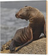 Sea Lion Pup Wood Print