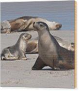 Sea Lions Wood Print
