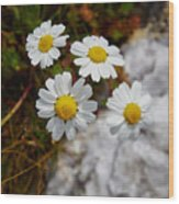 Sea Mayweed Wood Print