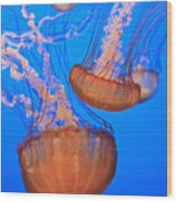 Sea Nettles Chrysaora Fuscescens In Wood Print