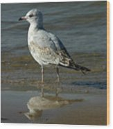 Seagull And His Reflection Wood Print