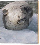 Seal On Iceberg Wood Print