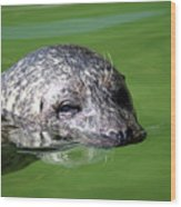 Seal Swimming Portrait Wildlife Scene Wood Print